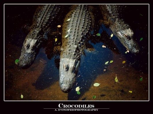 Crocodile-copy