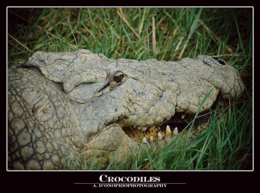 Crocodile2-copy
